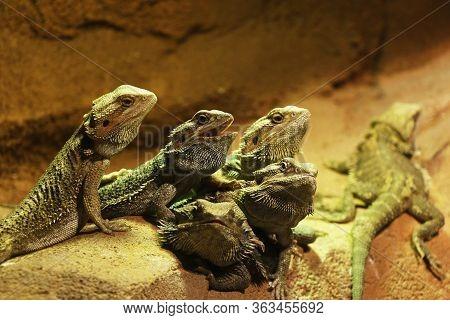 The Oriental Garden Lizard, Eastern Garden Lizard, Bloodsucker Or Changeable Lizard (calotes ... Dor