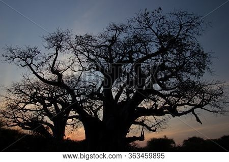 Baobab With An Amazing Sunset In The Background