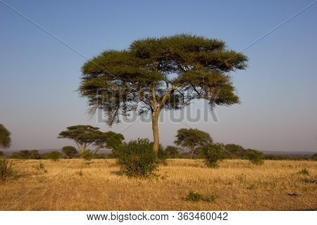 Majestic Baobab In The African Steppe On A Sunny Day