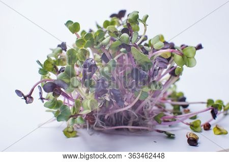 Close-up Of Radish Microgreens - Green Leaves And Purple Stems. Sprouting Microgreens. Seed Germinat
