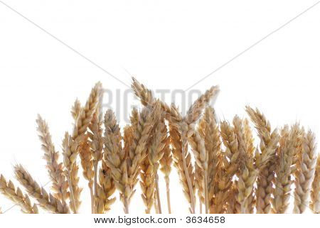 Wheat Growth