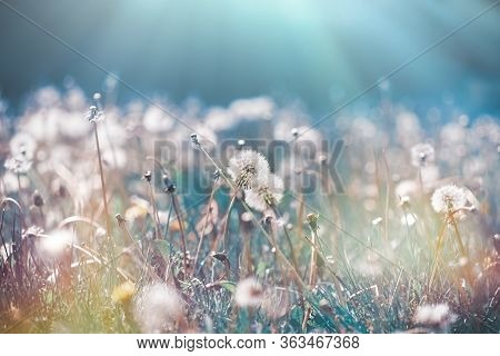 Beautiful Nature, Selective And Soft Focus On Dandelion Seed, On Fluffy Blow Ball
