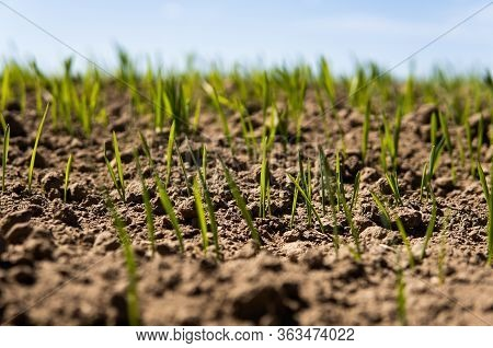 Young Wheat Seedlings Growing On A Field In A Black Soil. Spring Green Wheat Grows In Soil. Close Up