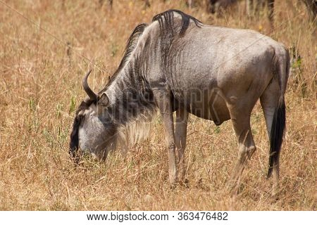 Gnu Eating Grass In The African Steppe