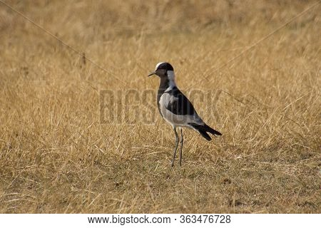 Peewit Standing In The African Savannah On A Sunny Day