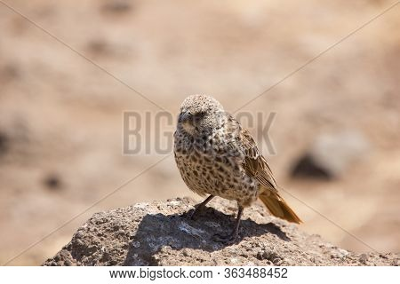 Brown Bird Looking At You Sitting On The Earthy Ground