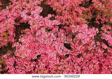 Azalea Blooms