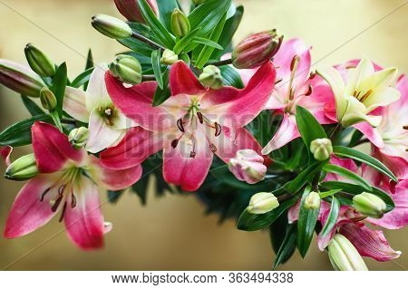 Overhead View Of Beautiful Dark Pink And White Asiatic Lilies (oriental Lily), Lilium Hybrid; Over A