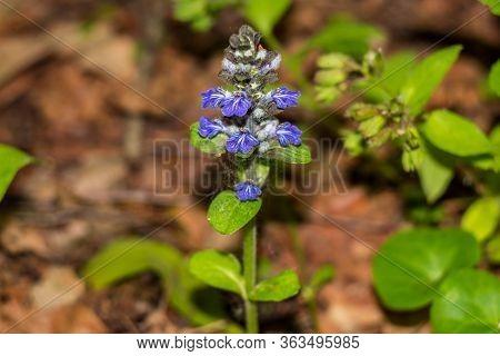 Wild Plant Ajuga Reptans (or Bugle, Blue Bugle, Bugleherb, Bugleweed) With Blue Flowers