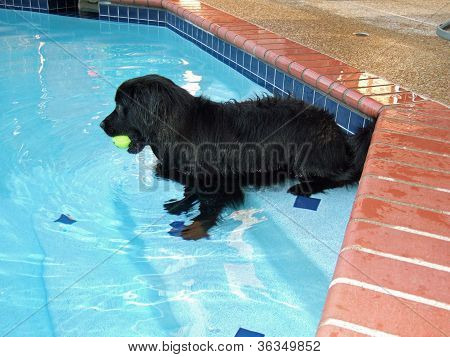 Black dog with ball,on steps in pool