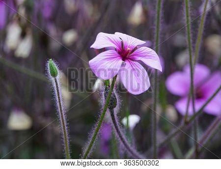 Light Purple Madeira Storksbill Flower At Full Bloom