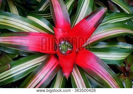 Green And White Neoregelia 'fireball' Tropical Plant With Red Center