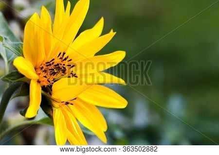 Yellow Sunflower In A Garden, Natural Close-up Photo With Soft Selective Focus. Helianthus