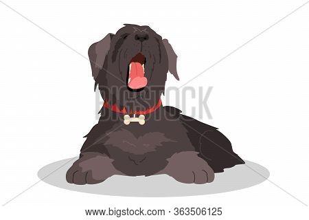 Cute Yawning Sleepy Dog. Purebread Schnauzer Lying. Funny Domestic