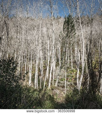 Forest Of Leafless Birch Trees In Winter Vertical Composition.