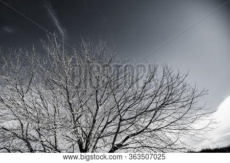 Winter Tree Leafless Under Clear Sky In Black & White.