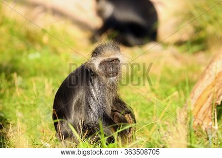 The King Colobus (colobus Polykomos), Also Known As The Western Black-and-white Colobus Sits On The