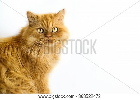 Red Persian Cat Isolated On White Background With Copy Space For Text. Domestic Cat. Vaccination And