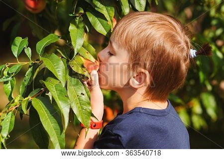 Little Gardener Helping And Harvesting. Fruit Tree Orchard In Summer Day. Happy Child Picking Peach