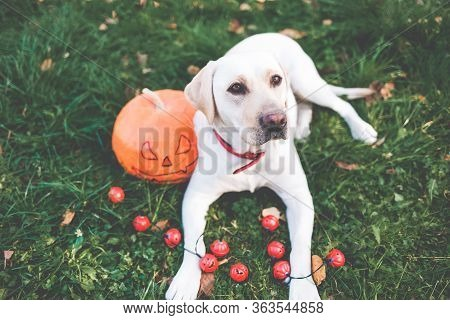 Labrador And Pumpkin. Dog Biting A Pumpkin. Labrador In A Field With Pumpkins. Halloween Dog. Dog Ea