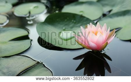 Beautiful Pink Lotus Flower Blossom In The Morning