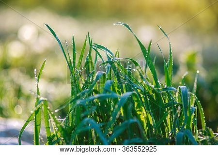 Young Juicy Green Grass With Drops Of Dew At Dawn, Freshness Awakening Wildlife