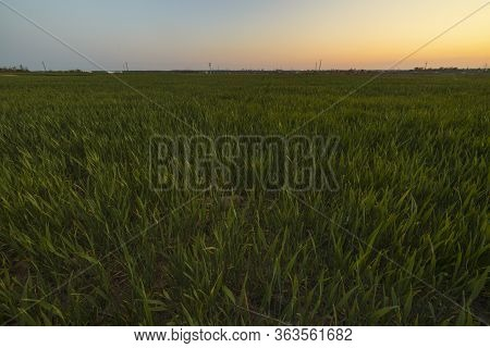 Image Of Green Wheat In The Field At Sunset