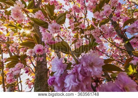 Branch Of Prunus Kanzan Cherry With Pink Double Flowers And Red