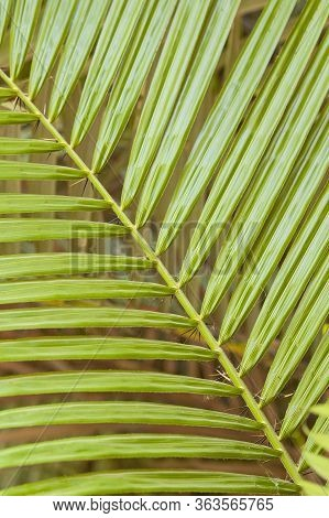 Closeup Abstract Detail Of Palm Tree Frond Creating Background Texture Wallpaper