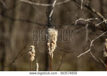 The Broadleaf Cattail,bulrush, Common Bulrush, Common Cattail, Great Reedmace, Cooper's Reed, Native