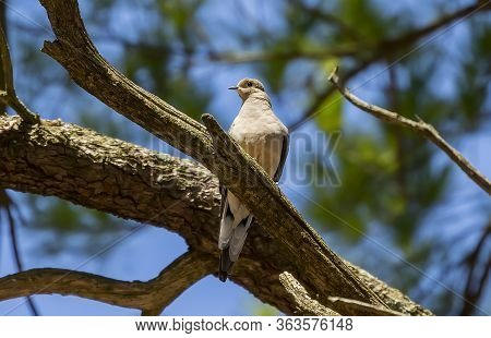 The Mourning Dove,  Also Known As The American Mourning Dove Or The Rain Dove.