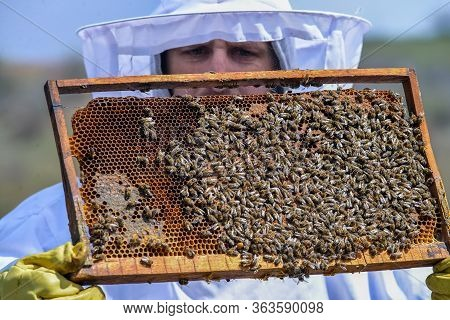 Young Man Holding A Honeycomb With Bees. Beekeeper Inspecting And Examining Honeycomb Frame At Apiar