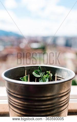 Pisum Sativum Plant Growing In The Sun In A Metal Pot. Urban Garden. Pea Plant. Concept Of Home Hobb