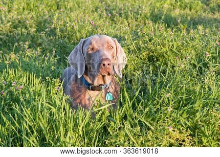Handsome Weimaraner dog resting in high grass among flowers, in late evening sun