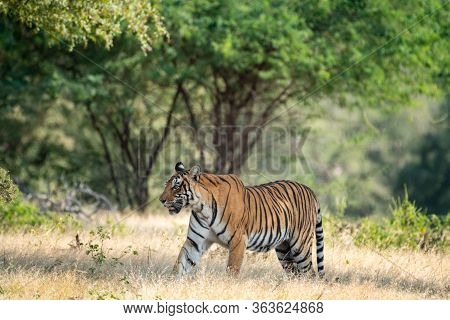 Wild Bengal Tiger In Monsoon Season Safari With Tail Up And Green Background At Ranthambore National