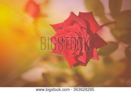 Flowering Rose Close-up. Fabulous Rose In Fabulous Garden. Festive Rose In The Garden. Red Rose In T