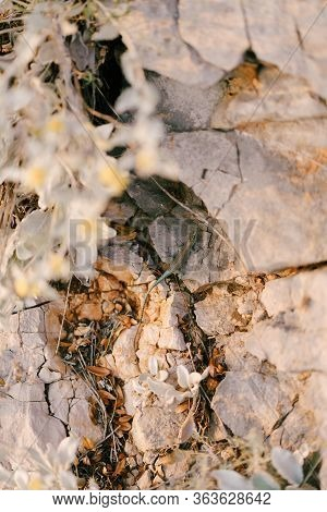 A Small Green Lizard Crawls Among The Rocks. Natural Mimicry, Almost Completely Merges With The Back