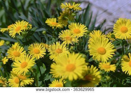 Daisy. Perennial Daisies. Bunch Of Yellow Garden Flowers.