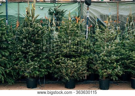 Sale Of Christmas Trees. Beautiful Christmas Trees In Pots Are Sold At The Christmas Market.