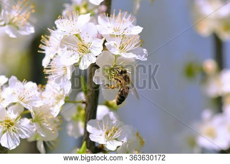 Bee On The White Bloom On A Tree Branch.