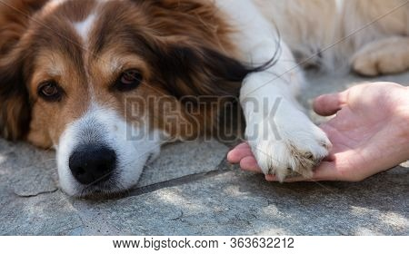 Hand Holding A Dogs Paw. White Brown Color Shepherd Dog Lying Down Unhappy