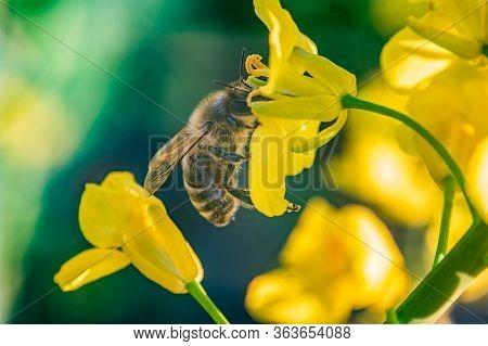 European Honey Bee (apis Mellifera) Sitting Between The Flowers Of Yellow Canola With Green Stalks B