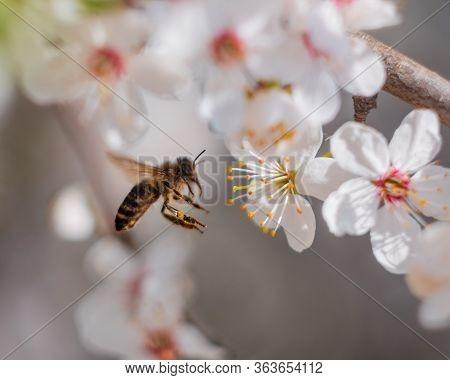 European Honey Bee (apis Mellifera) Landing On Blooming Flowers Of Hawthorn (crataegus)