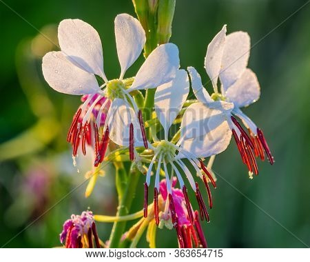 Oenothera Xenogaura, Or Red River Guara, Wildflower Bathed In Morning Sunlight