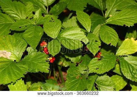 Red Berries And Green Leaves Of Stone Bramble (rubus Saxatilis)