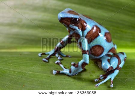 Blue poison dart frog of Rainforest in Panama