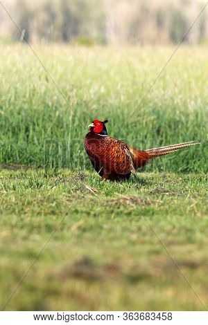 The Common Pheasant (phasianus Colchicus) Standing On The Meadow. Pheasant With Green Background.
