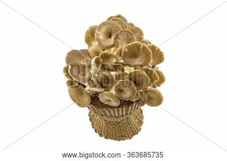 Shiitake Mushroom, Lentinus Edodes (berk.) Sing. , Black Mushroom, Phoenix Oyster Mushroom , Sajor-c