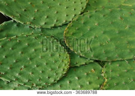 Green Sweet Background Of Prickly Pear Leaves