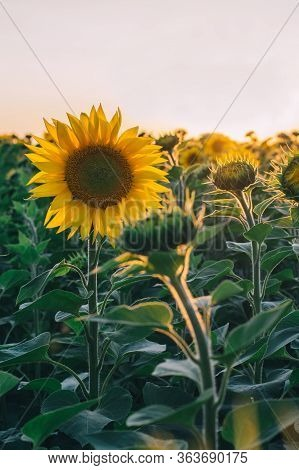 Colorful Sunset Over A Sunflower Field. Ecological Pure, Natural Sunflower Oil. Field Of Sunflowers.
